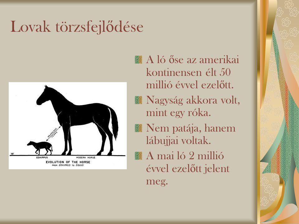 Lovak törzsfejlődése A ló őse az amerikai kontinensen élt 50 millió évvel ezelőtt. Nagyság akkora volt, mint egy róka.