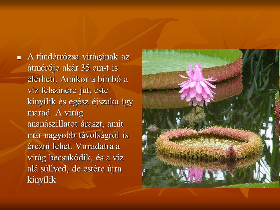 A tündérrózsa virágának az átmérője akár 35 cm-t is elérheti
