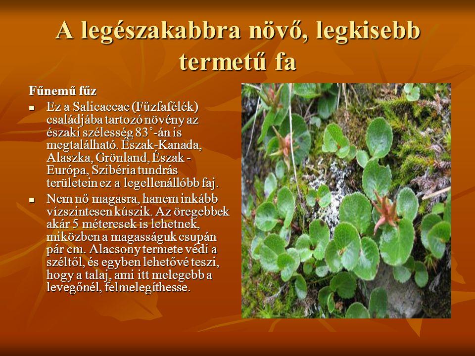 A legészakabbra növő, legkisebb termetű fa
