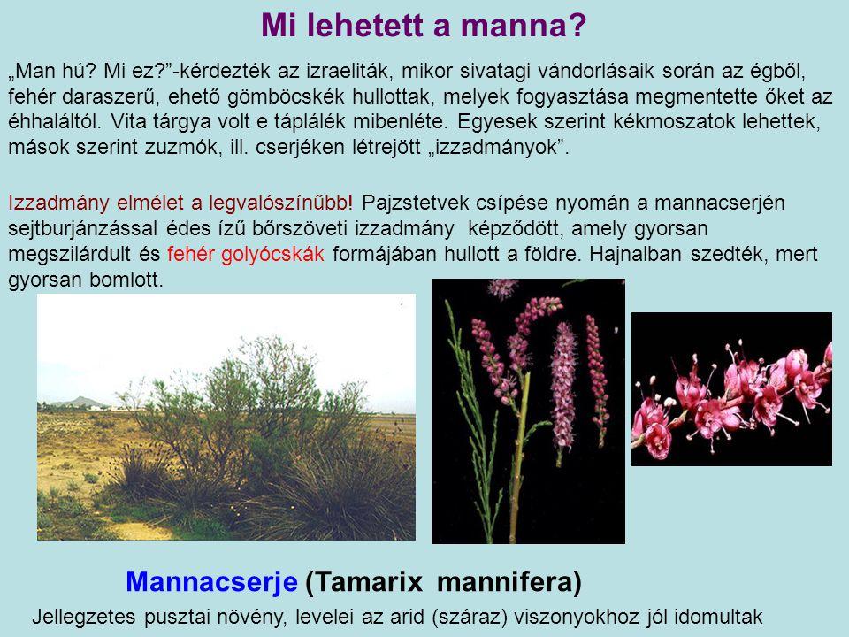 Mi lehetett a manna Mannacserje (Tamarix mannifera)