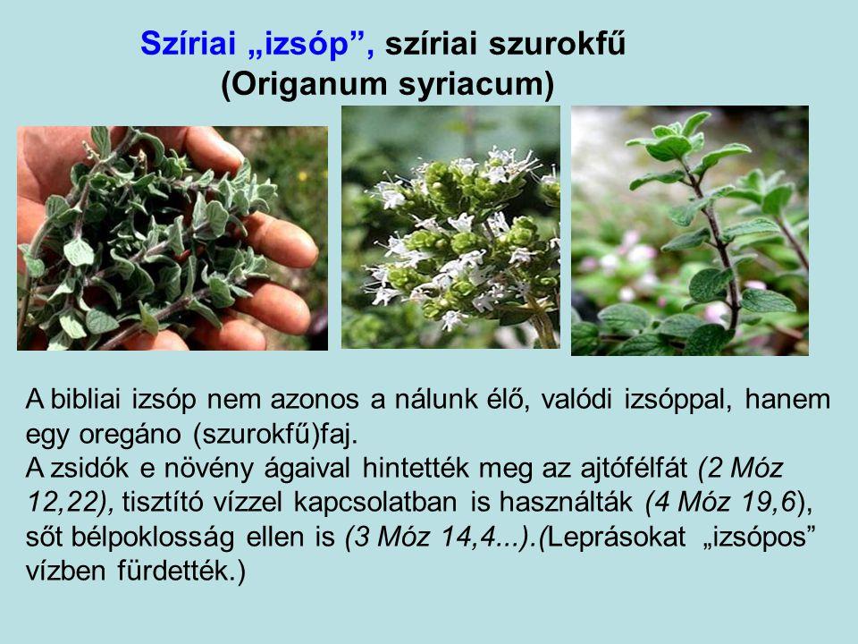 """Szíriai """"izsóp , szíriai szurokfű (Origanum syriacum)"""