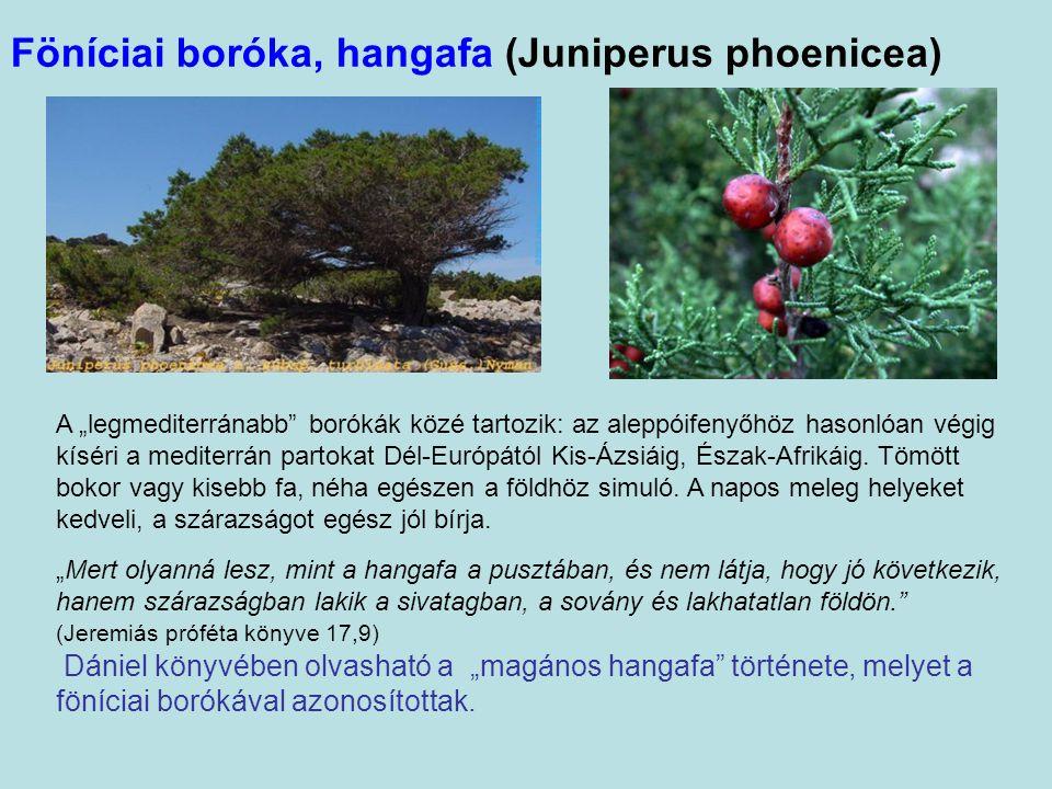 Föníciai boróka, hangafa (Juniperus phoenicea)