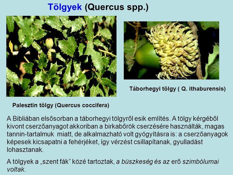 Táborhegyi tölgy ( Q. ithaburensis)