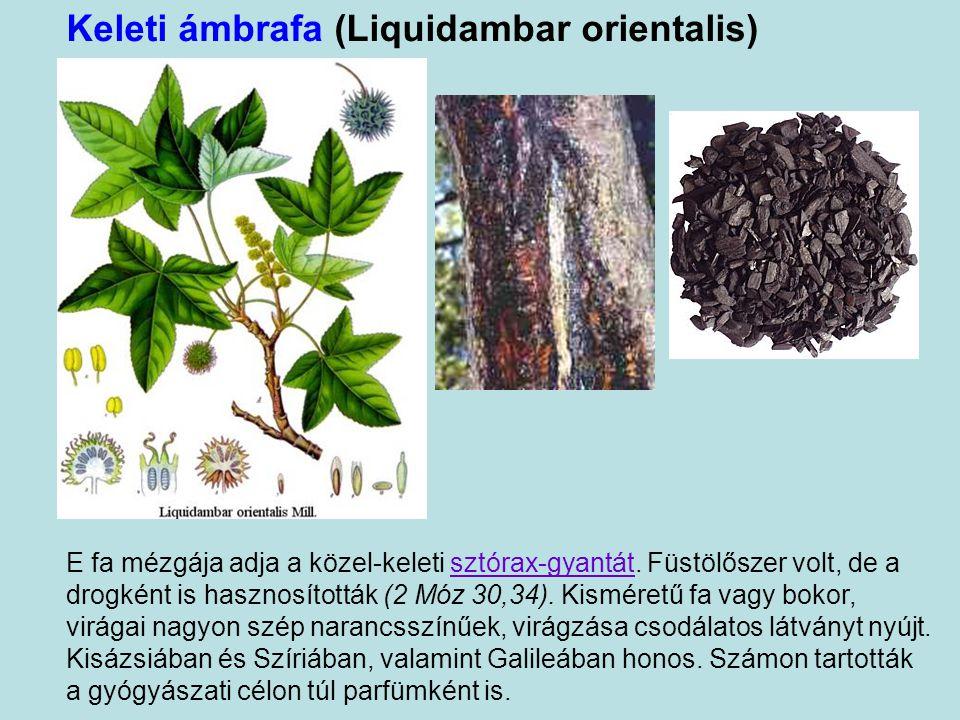 Keleti ámbrafa (Liquidambar orientalis)