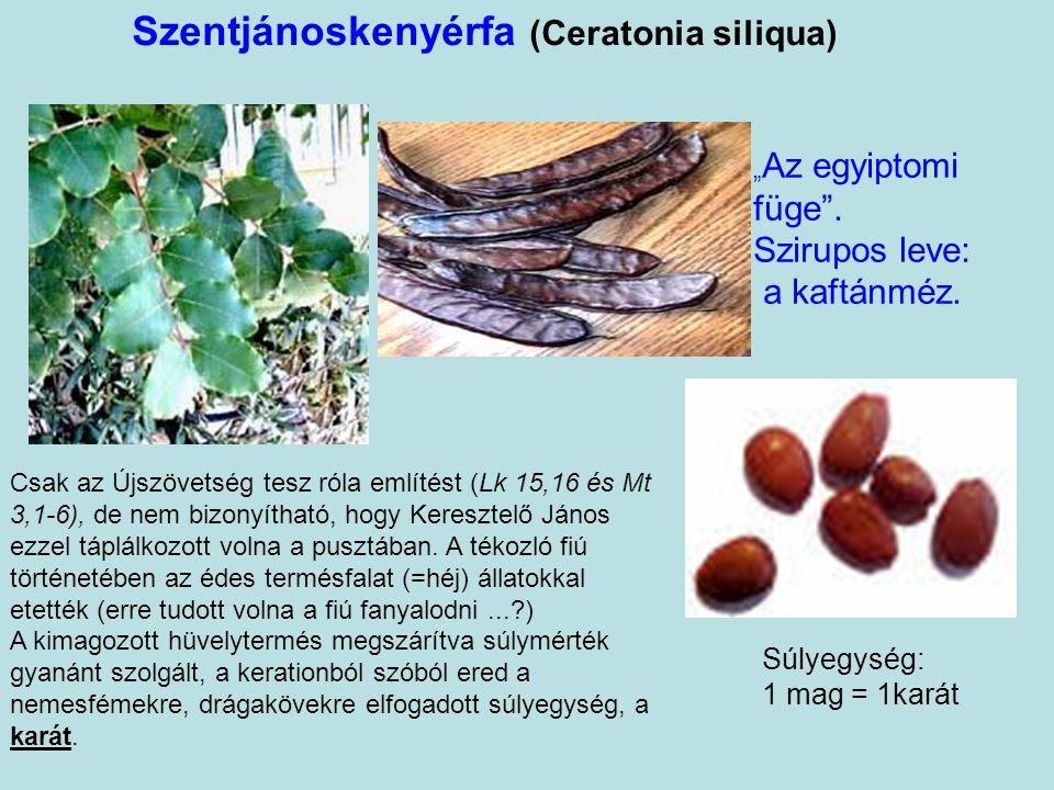 Szentjánoskenyérfa (Ceratonia siliqua)