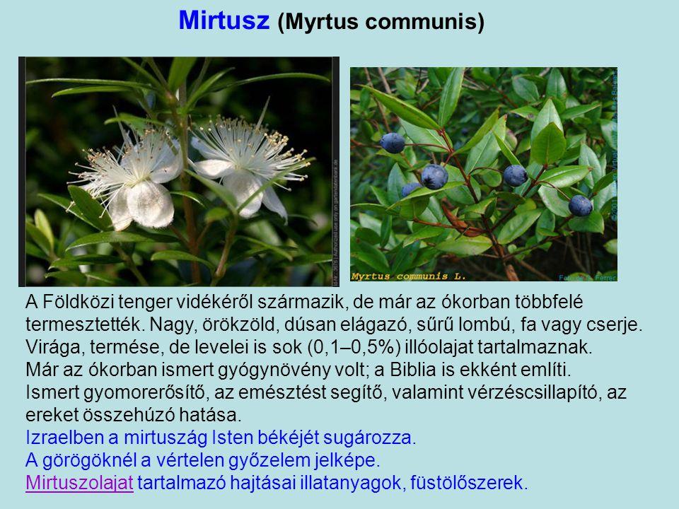 Mirtusz (Myrtus communis)