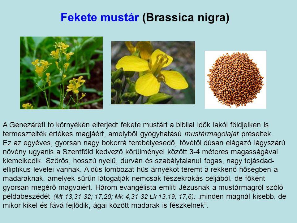 Fekete mustár (Brassica nigra)