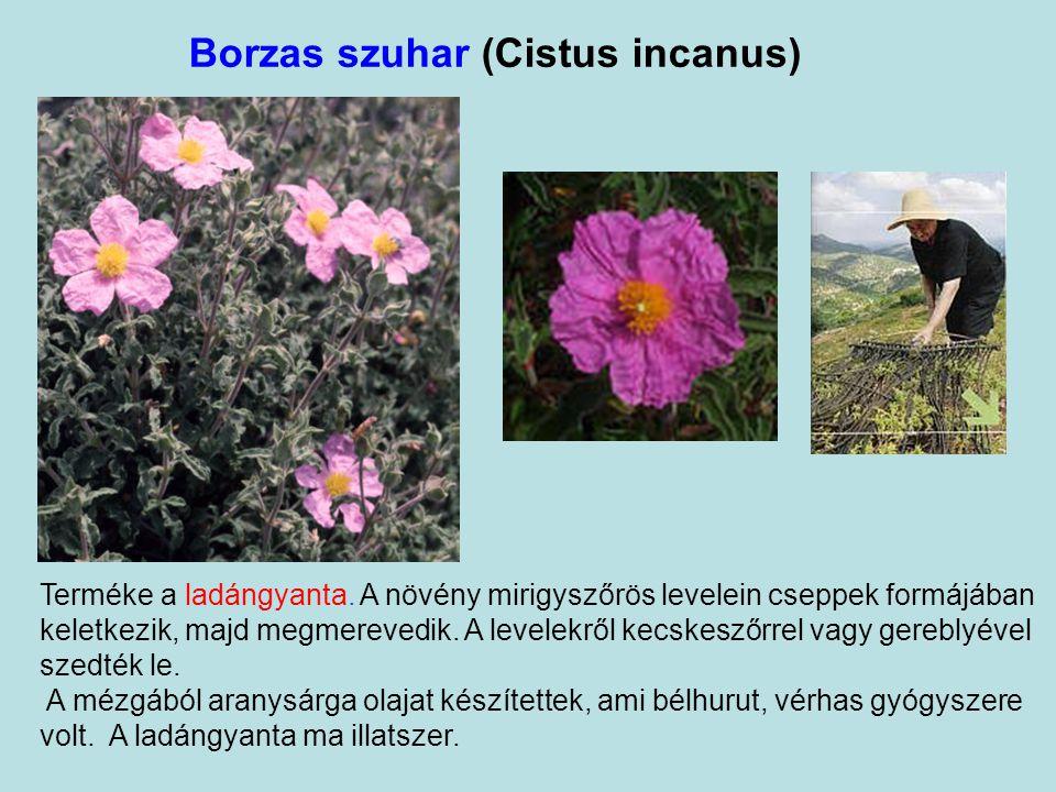 Borzas szuhar (Cistus incanus)