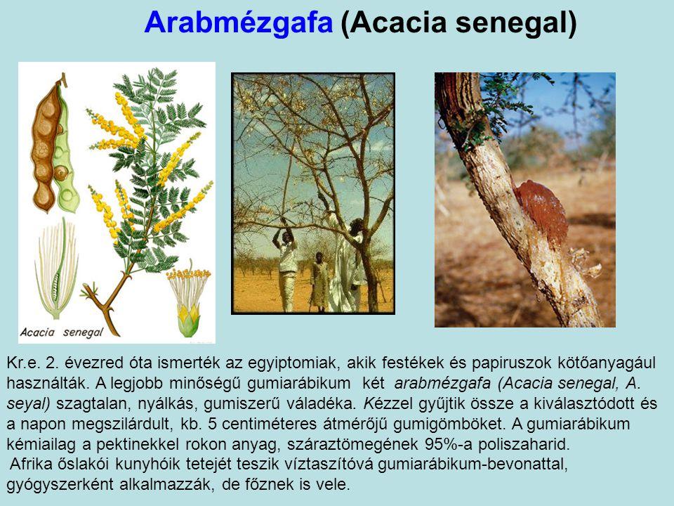 Arabmézgafa (Acacia senegal)