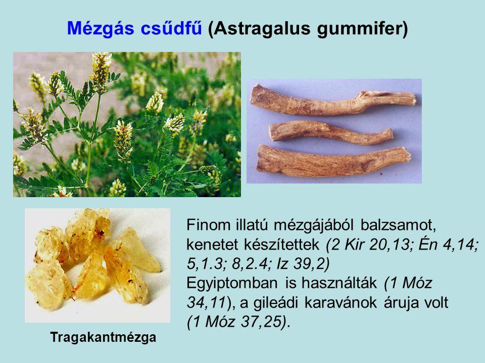 Mézgás csűdfű (Astragalus gummifer)