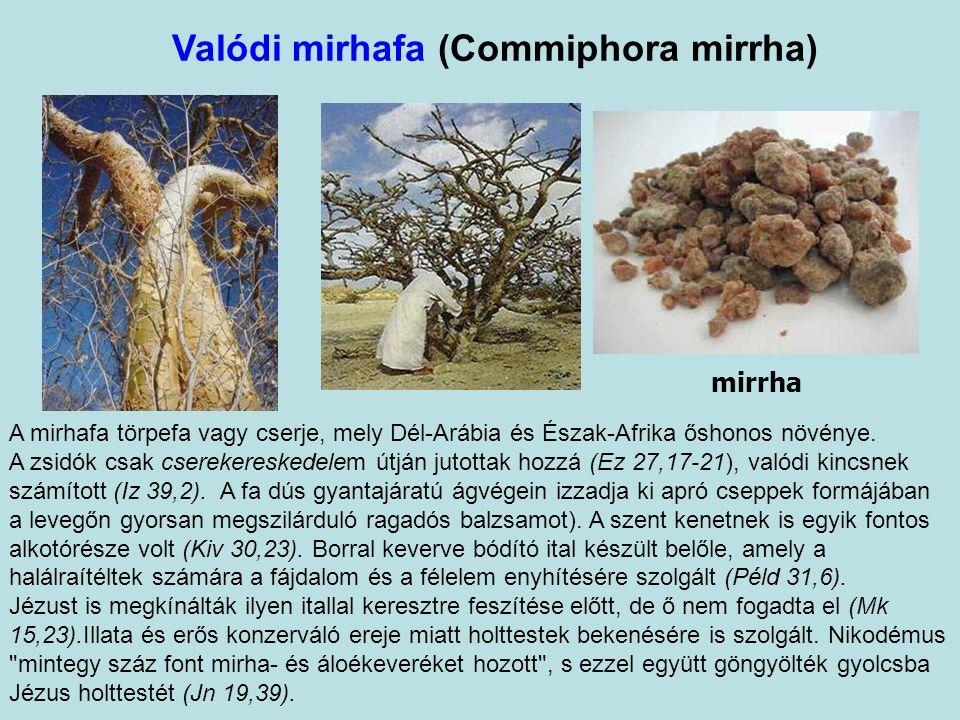 Valódi mirhafa (Commiphora mirrha)