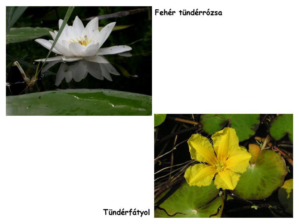 Fehér tündérrózsa Tündérfátyol