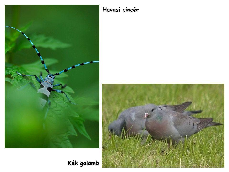 Havasi cincér Kék galamb