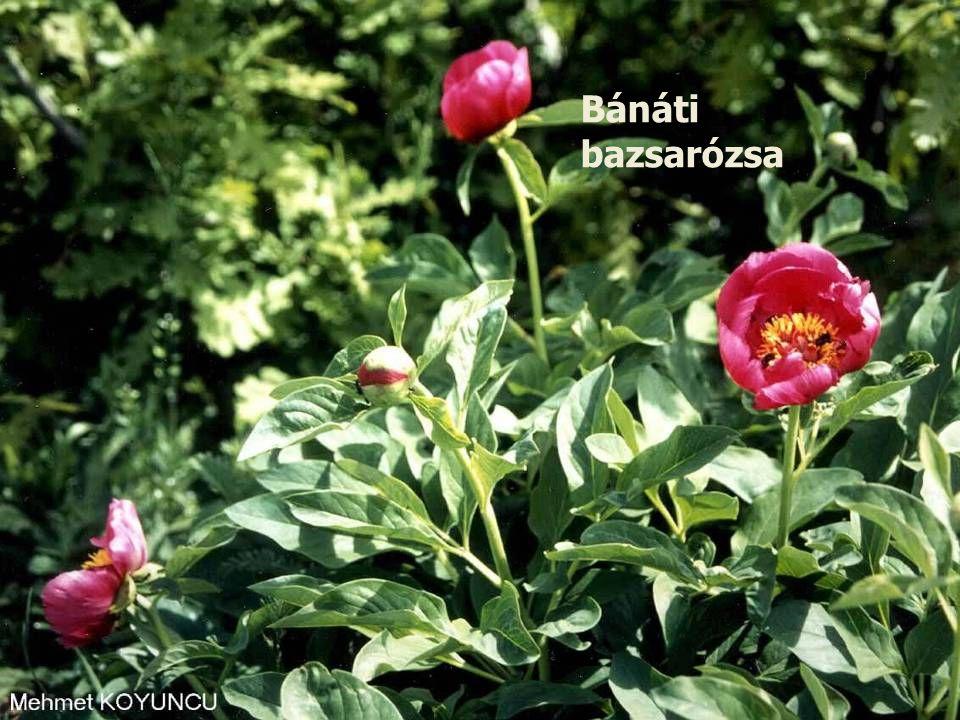 Bánáti bazsarózsa