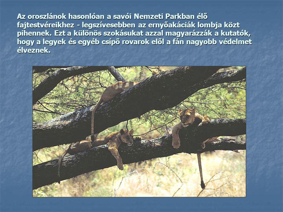 Az oroszlánok hasonlóan a savói Nemzeti Parkban élő fajtestvéreikhez - legszívesebben az ernyőakáciák lombja közt pihennek.
