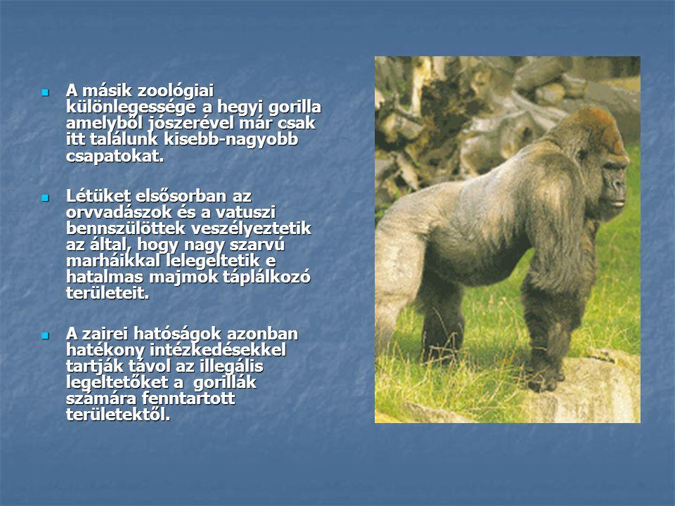 A másik zoológiai különlegessége a hegyi gorilla amelyből jószerével már csak itt találunk kisebb-nagyobb csapatokat.