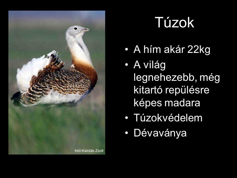 Túzok A hím akár 22kg. A világ legnehezebb, még kitartó repülésre képes madara.