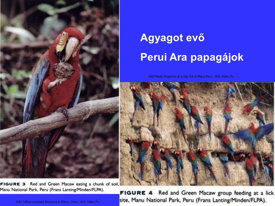 Agyagot evő Perui Ara papagájok