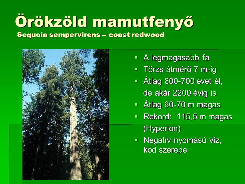 Örökzöld mamutfenyő Sequoia sempervirens -- coast redwood