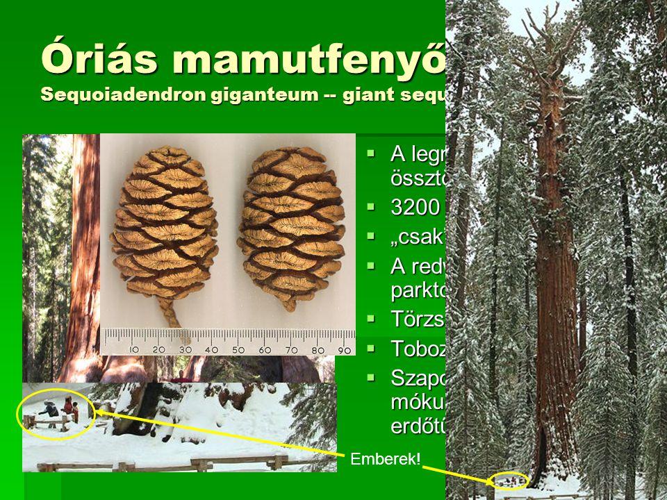 Óriás mamutfenyő Sequoiadendron giganteum -- giant sequoia