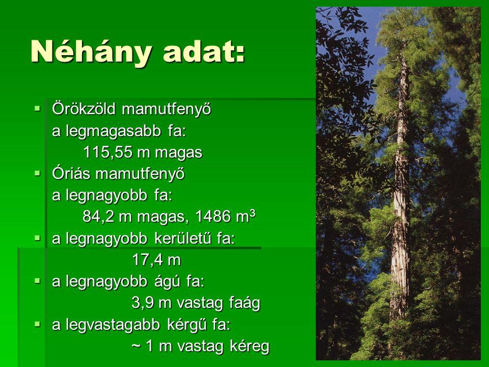 Néhány adat: Örökzöld mamutfenyő a legmagasabb fa: 115,55 m magas