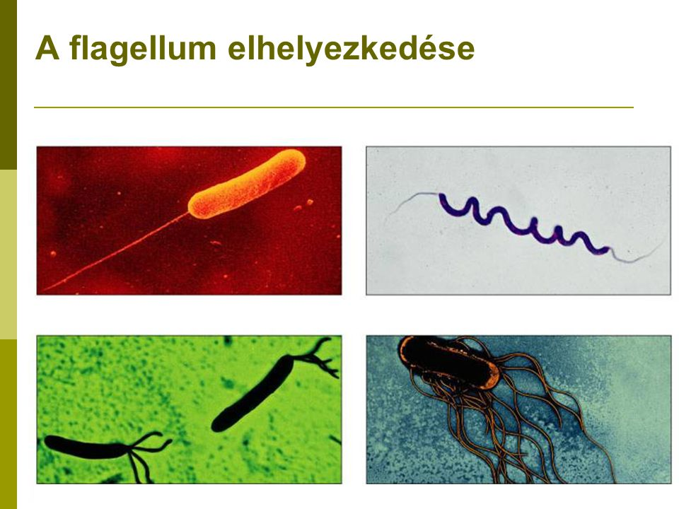 A flagellum elhelyezkedése