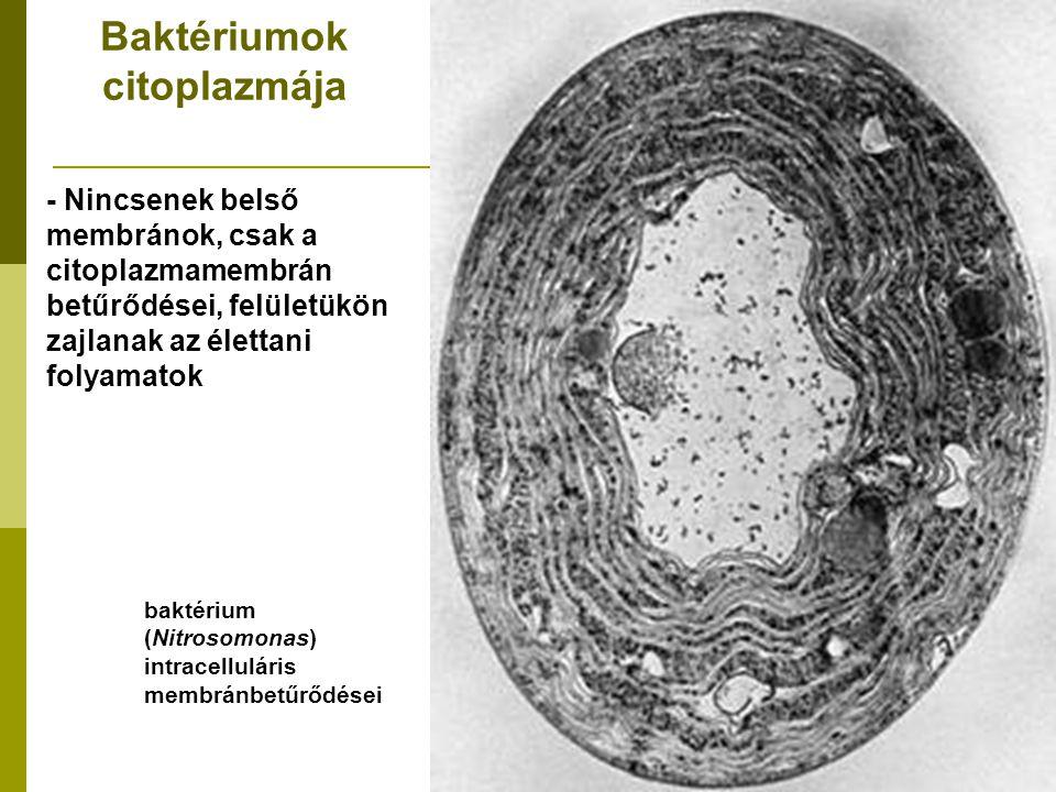 Baktériumok citoplazmája