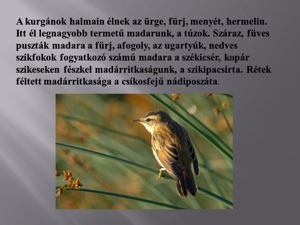 A kurgánok halmain élnek az ürge, fürj, menyét, hermelin