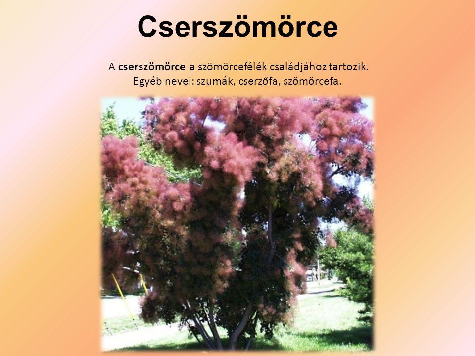Cserszömörce A cserszömörce a szömörcefélék családjához tartozik.