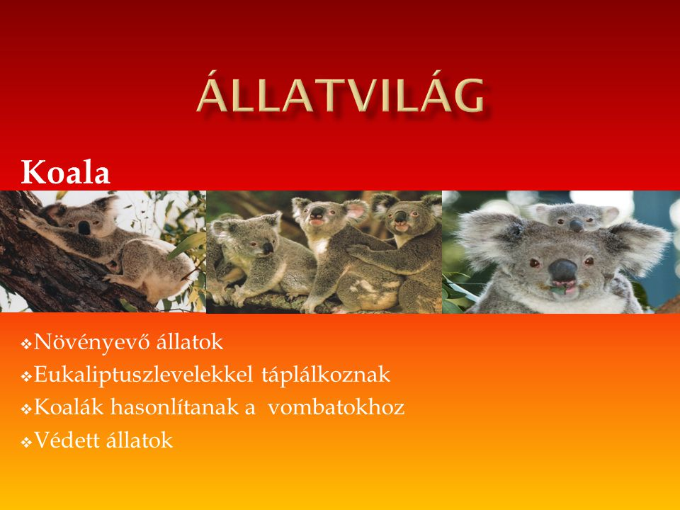 Állatvilág Koala Növényevő állatok Eukaliptuszlevelekkel táplálkoznak