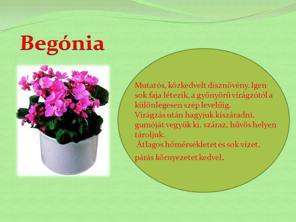 Begónia Mutatós, közkedvelt dísznövény. Igen sok faja létezik, a gyönyörű virágzótól a különlegesen szép levelűig.