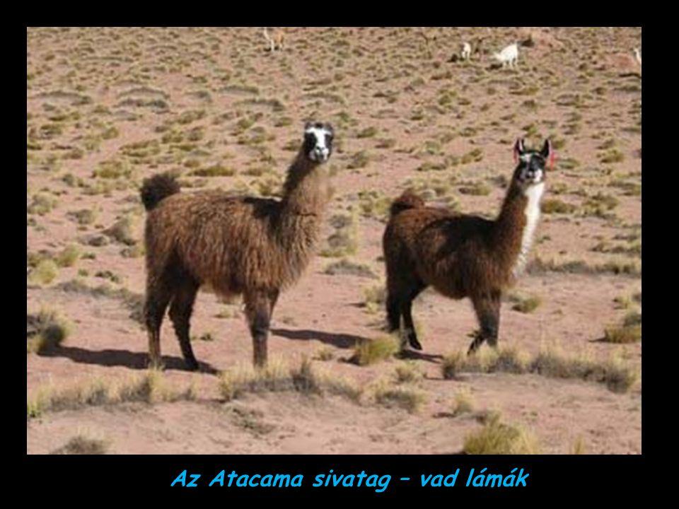 Az Atacama sivatag – vad lámák