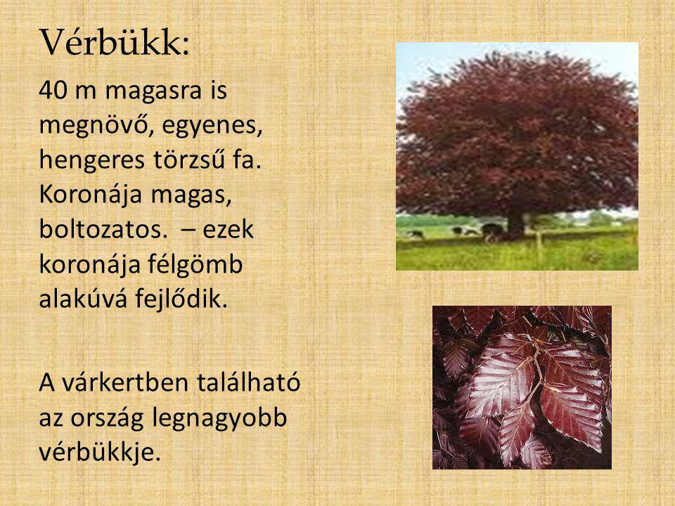 Vérbükk: 40 m magasra is megnövő, egyenes, hengeres törzsű fa. Koronája magas, boltozatos. – ezek koronája félgömb alakúvá fejlődik.