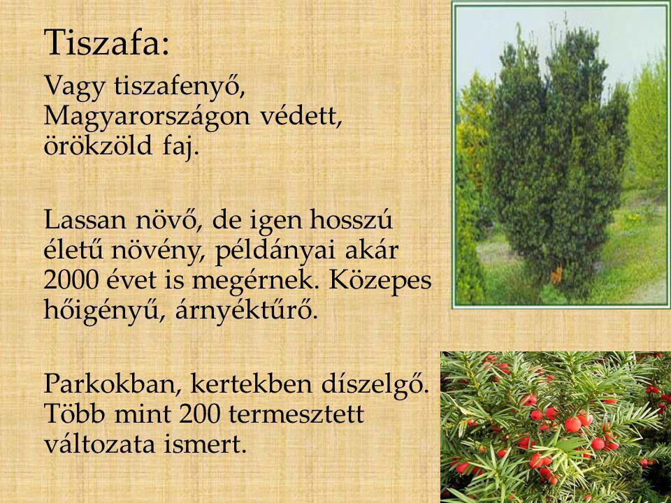 Tiszafa: Vagy tiszafenyő, Magyarországon védett, örökzöld faj.