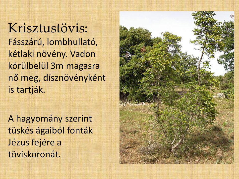 Krisztustövis: Fásszárú, lombhullató, kétlaki növény