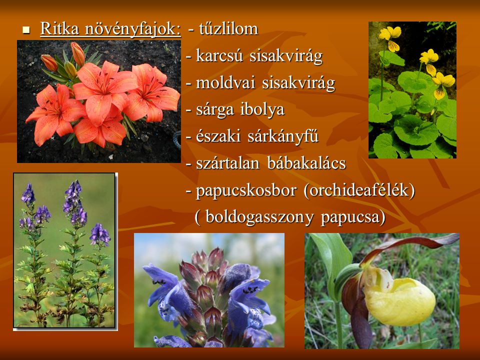 Ritka növényfajok: - tűzlilom