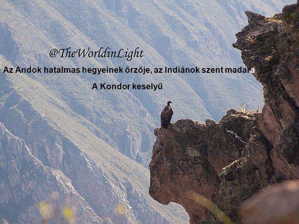 Az Andok hatalmas hegyeinek őrzője, az Indiánok szent madara