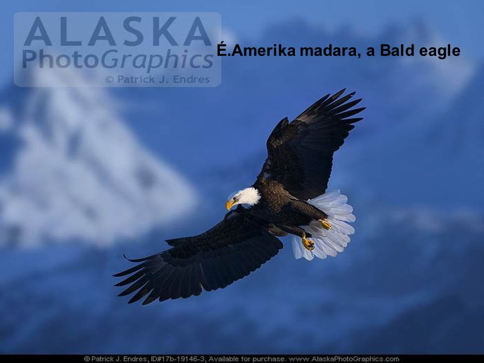 É.Amerika madara, a Bald eagle