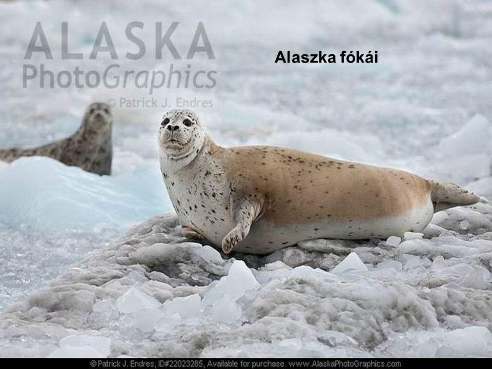Alaszka fókái
