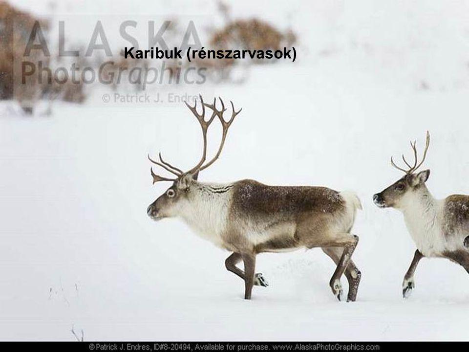 Karibuk (rénszarvasok)