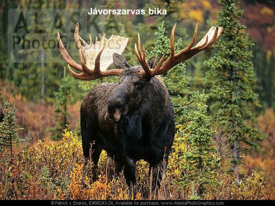 Jávorszarvas bika