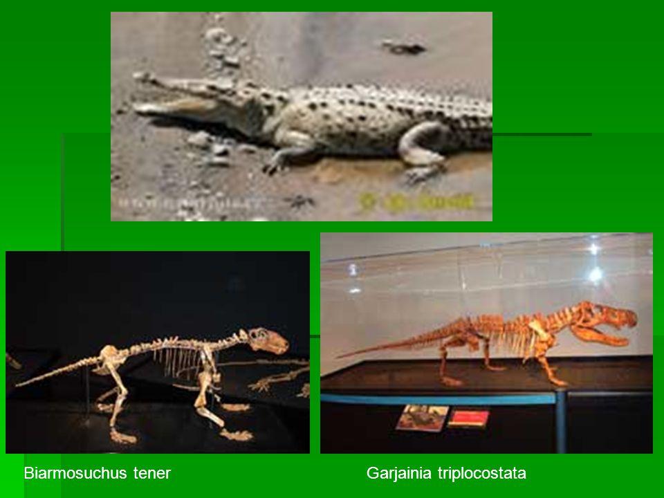 Biarmosuchus tener Garjainia triplocostata