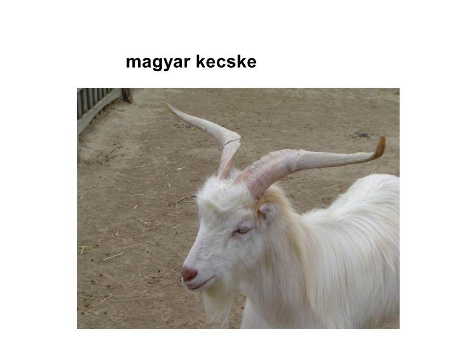 magyar kecske