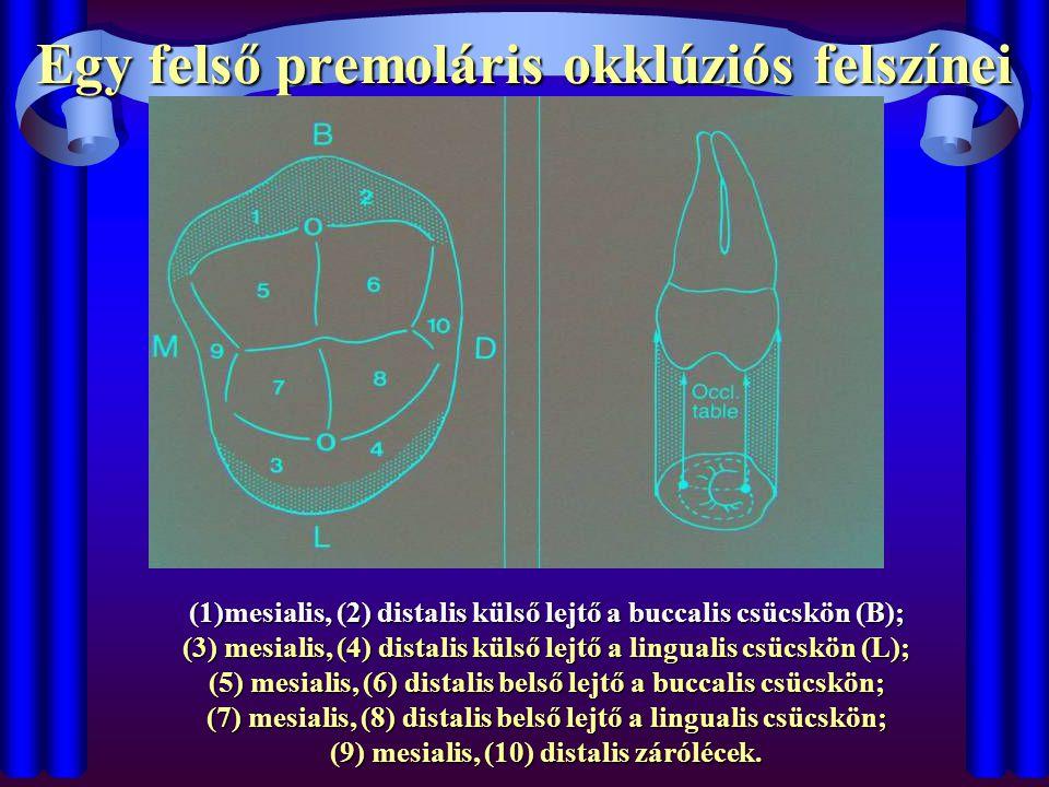Egy felső premoláris okklúziós felszínei
