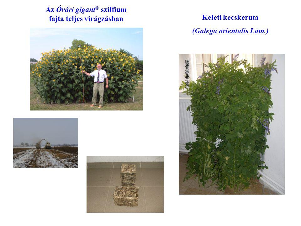Az Óvári gigant® szilfium fajta teljes virágzásban Keleti kecskeruta