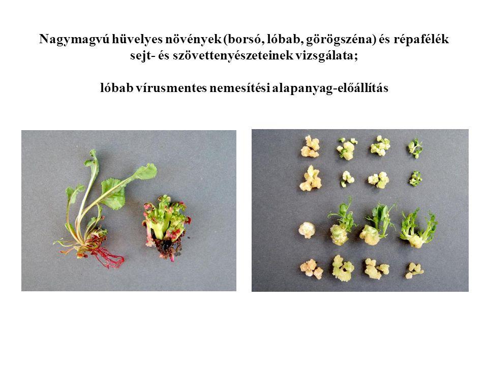 Nagymagvú hüvelyes növények (borsó, lóbab, görögszéna) és répafélék sejt- és szövettenyészeteinek vizsgálata; lóbab vírusmentes nemesítési alapanyag-előállítás