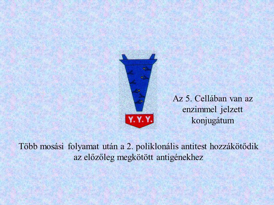 Az 5. Cellában van az enzimmel jelzett konjugátum
