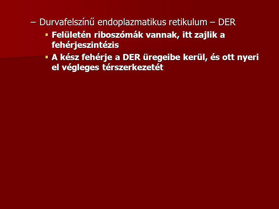 Durvafelszínű endoplazmatikus retikulum – DER