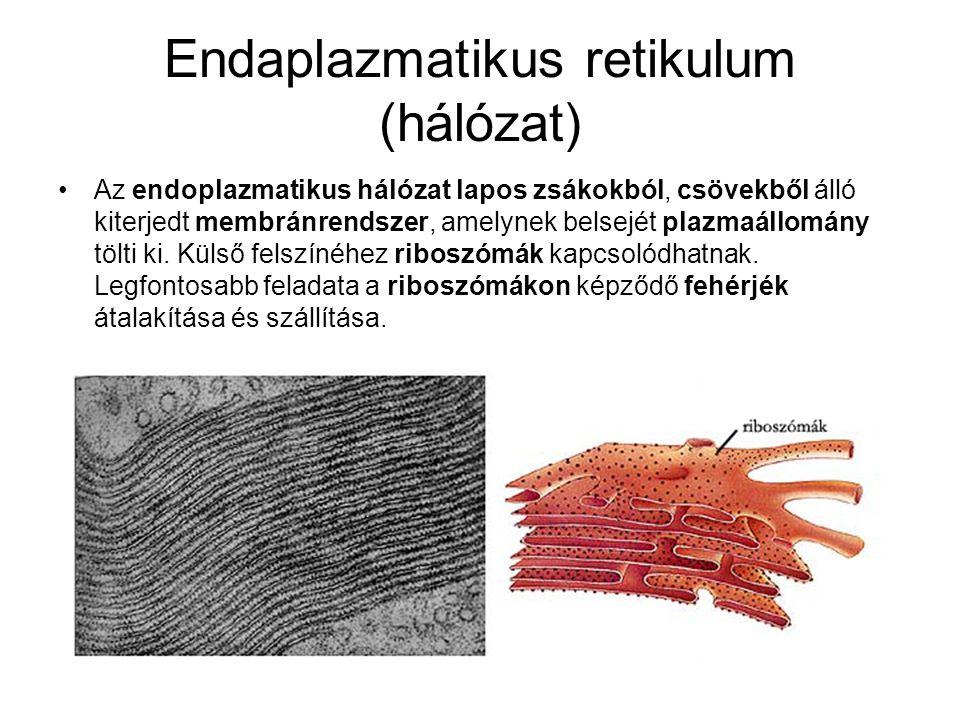 Endaplazmatikus retikulum (hálózat)