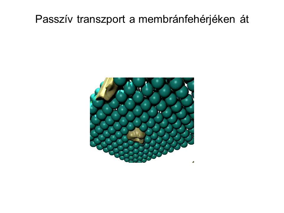 Passzív transzport a membránfehérjéken át